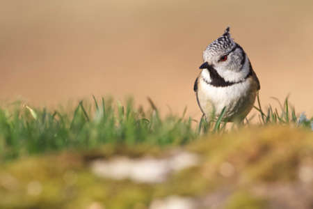 Cramenes, Leon/Spain; Feb. 15, 2020. The European crested tit, or simply crested tit (Lophophanes cristatus), is a passerine bird in the tit family Paridae.