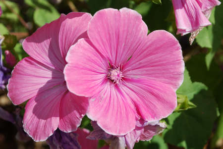 Beautiful pink flowers lavatera decorate a flower bed in the Park Stock fotó