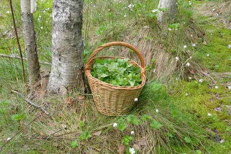Verzameling en verwerving van de componenten voor medicinale thee. Gesneden mand verlaat bergbraambessen in het moeras Stockfoto