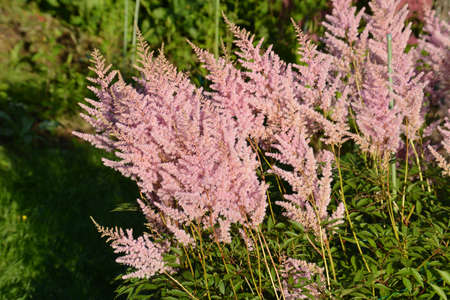The beauty of flowers. Astilbe delicate pink blossom in flower garden and beautify the garden. Photo astilbe closeup