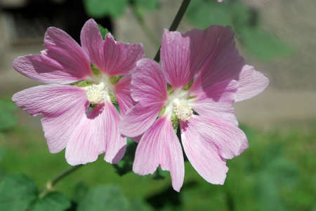 Medicinal plants. Beautiful pink mallow flowers adorn the flowerbed in the garden. A close-up photograph Stock Photo