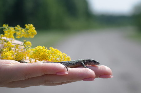 Small lizard and yellow wildflowers in female hands.
