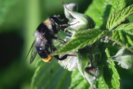 Bumblebee is collecting a pollen from a flower head of raspberry tree.
