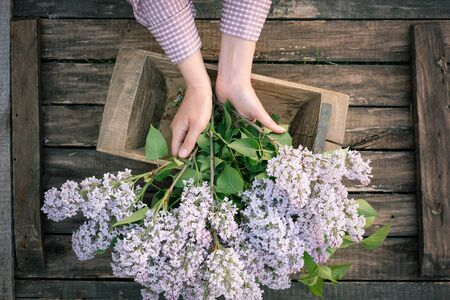 Gardener hands with bouquet of blooming lilac tree branches on garden wooden table background. 스톡 콘텐츠