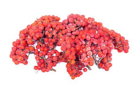 Rowan berry isolated on white backgroud.