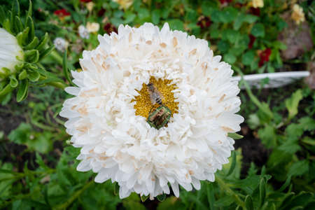 Chafer and bee on the white flower close up. Banco de Imagens