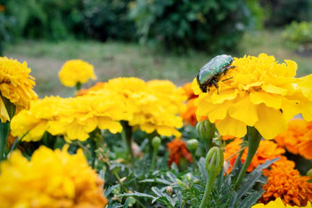 Chafer on the marigold flower head close up.
