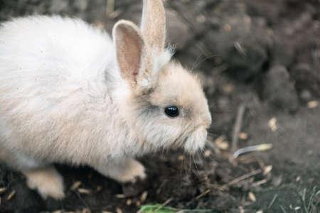 A small white rabbit close up.
