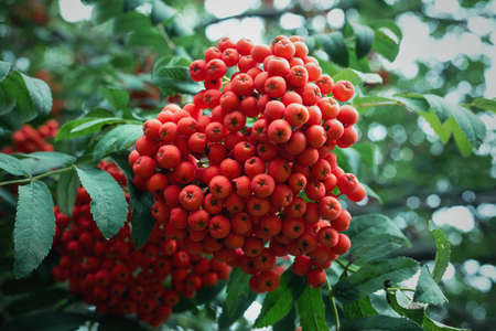 Bunch of rowan berry on the tree branches close up abstract background.
