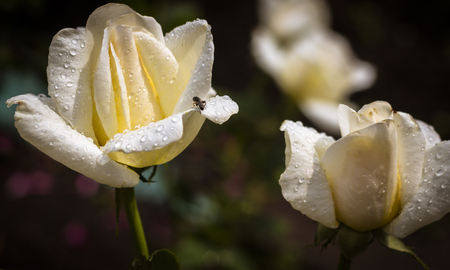 White roses in a garden after a rain