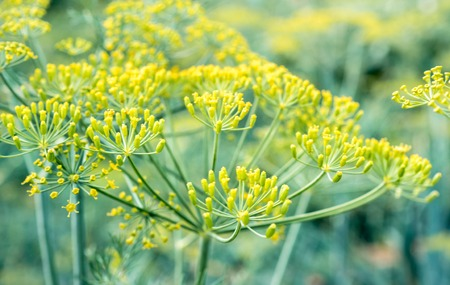 Fennel seed blossom