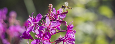 Wild bee wasp flies in motion pollinates a young flower in the forest Banco de Imagens