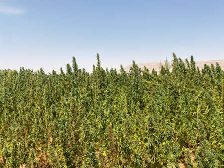 Egyptian Green leaves of Medical Marijuana, Egyptian Cannabis or weed plant
