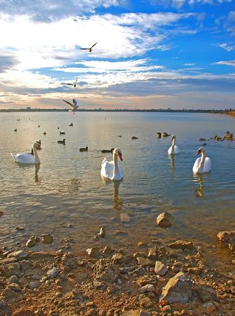Swimming swans and flying sea-gulls in the beautiful sunset on the lake  photo