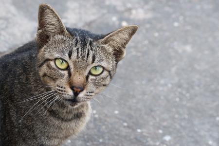gray tabby: Gray tabby cat. Stock Photo