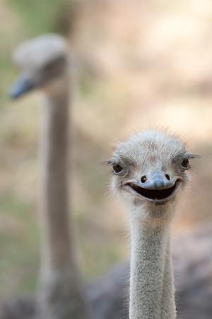 struthio camelus: Close up of ostrich head Struthio camelus