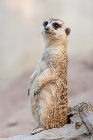 suricata suricatta: Alert Suricate or Meerkat Suricata suricatta.