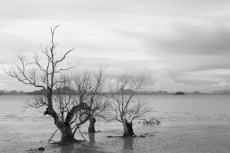 phang nga: Dead trees by the sea, Koh Yao Noi , Phang Nga, THAILAND
