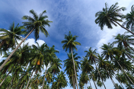 phang nga: Coconut trees against blue sky background, Koh Yao Noi , Phang Nga, THAILAND