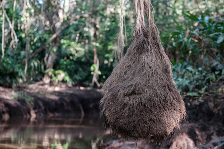 phangnga: The roots of the banyan tree. Little Amazon of TakuaPa in PhangNga, South Thailand.