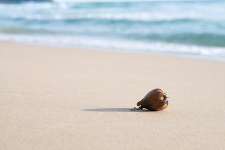 Zee vergif boom fruit (Barringtonia asiatica) tegen zand en zee Golf achtergrond.