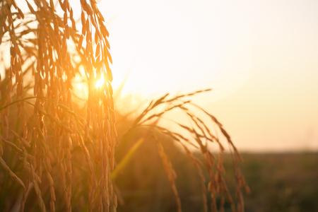 Rice spike in rice field.