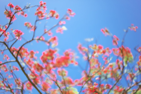 Blurred image of Royal Poinciana flower and blue sky background. Stock Photo