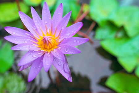 Water lily, Purple lotus in the pond.