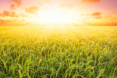 日没時の田んぼと空の背景と太陽の光。 写真素材