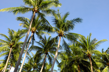 Coconut palm tree and blue sky.