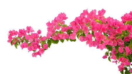Pink Bougainvillea flower isolated on white background.