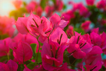 Pink Bougainvillea flower at sunset.