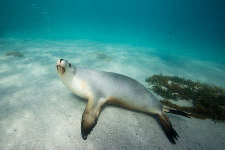 Sea lion swims playfully under the surface