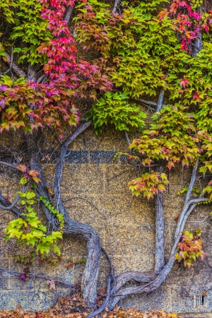 Beautiful autumn ivy on stone wall Stock Photo