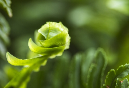 Macro of small fern frond unfurling Stock Photo - 16693333
