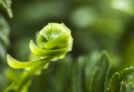 unfurl: Macro of small fern frond unfurling Stock Photo
