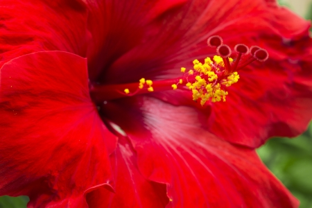 Macro of a large red hibiscus flower Stock Photo