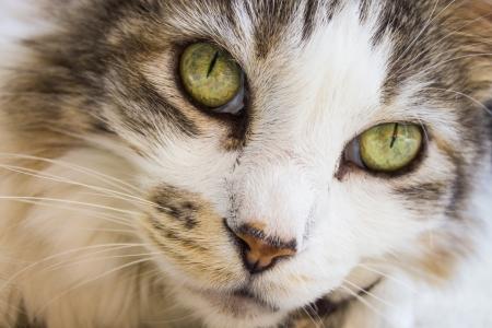 Close-up of a Pixie-bob cat