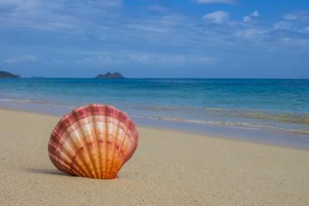 Lions Paw shell on beautiful Hawaiian beach