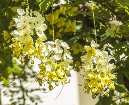 Die Bunten Orange Und Gelbe Blüten Der Tropischen Sorgenbaum ...