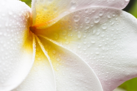 Closeup of a white, yellow and pink plumeria bloom with dew drops Imagens