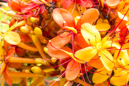 The colorful orange and yellow blooms of the tropical Sorrowless Tree