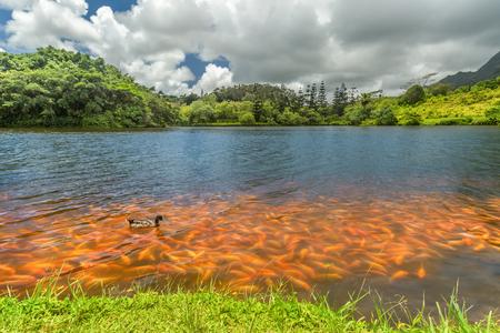 A crowd of koi fish along the shore of the lake at Hoomaluhia Botanical Gardens in Kaneohe on Oahu, Hawaii