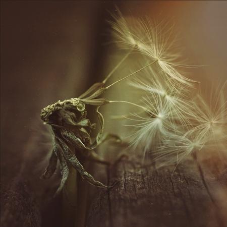 the dandelion flower.