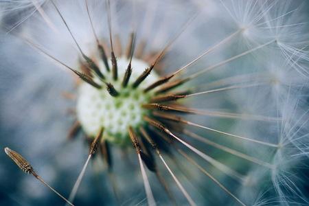 abstract white dandelion flower plant in the nature Foto de archivo