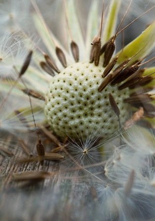 abstract dandelion flower seed in the garden