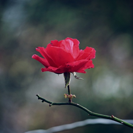 romantic red flowers in the garden in the nature Foto de archivo
