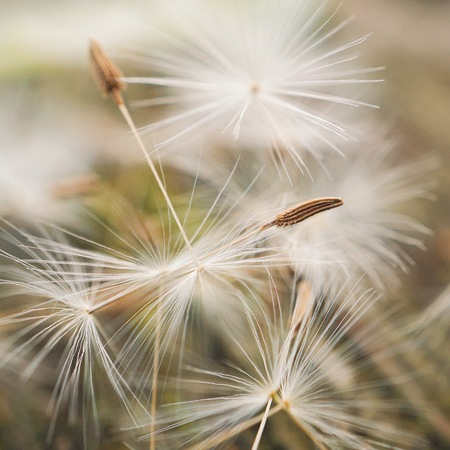 abstract white dandelion flower in the garden