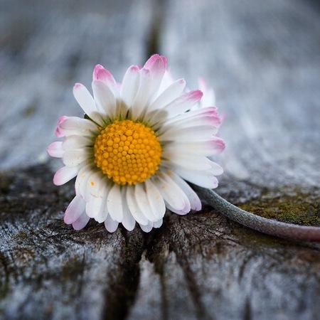 romantic white daisy flower in the garden in the nature Foto de archivo