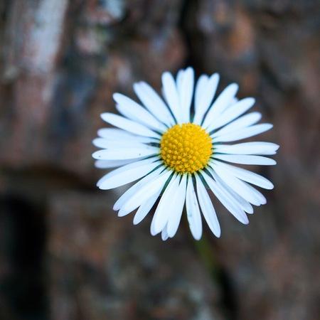 beautiful daisy flower in the garden in the nature Foto de archivo